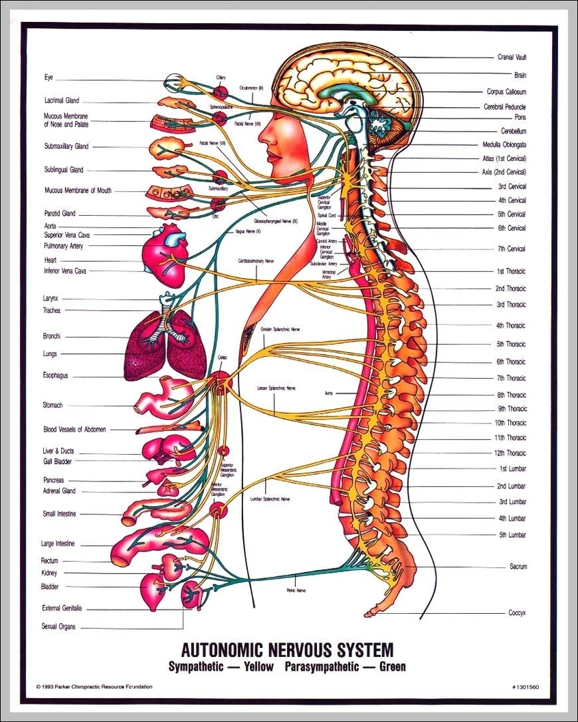 hight resolution of nervous system diagram labeled