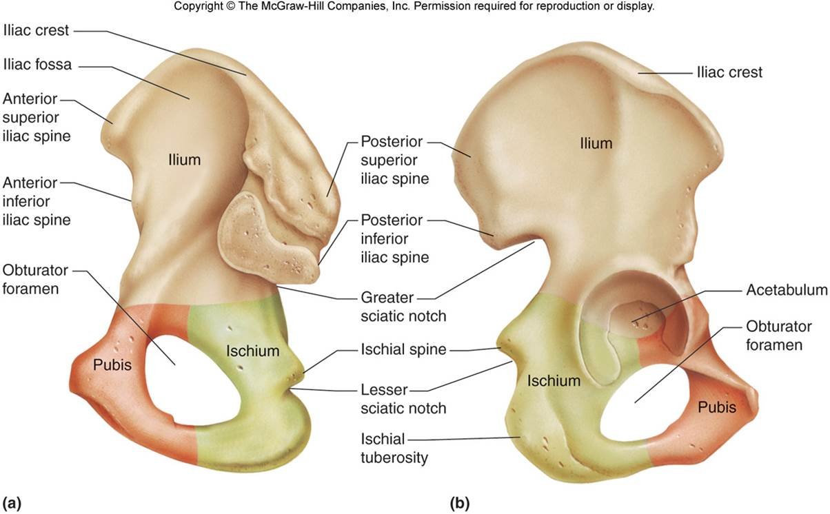 hight resolution of pelvic bone labeled