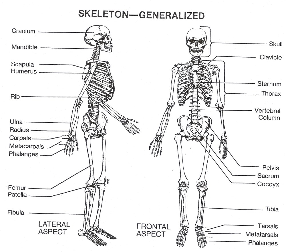 medium resolution of skeleton parts labeled labelled diagram of front and back of skeleton human skeleton diagram labeled skeleton labeled diagram labeled