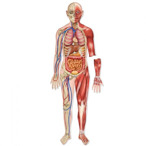 small resolution of the human body without labels human anatomy diagram without labels full picture of the human body with labels body diagram with