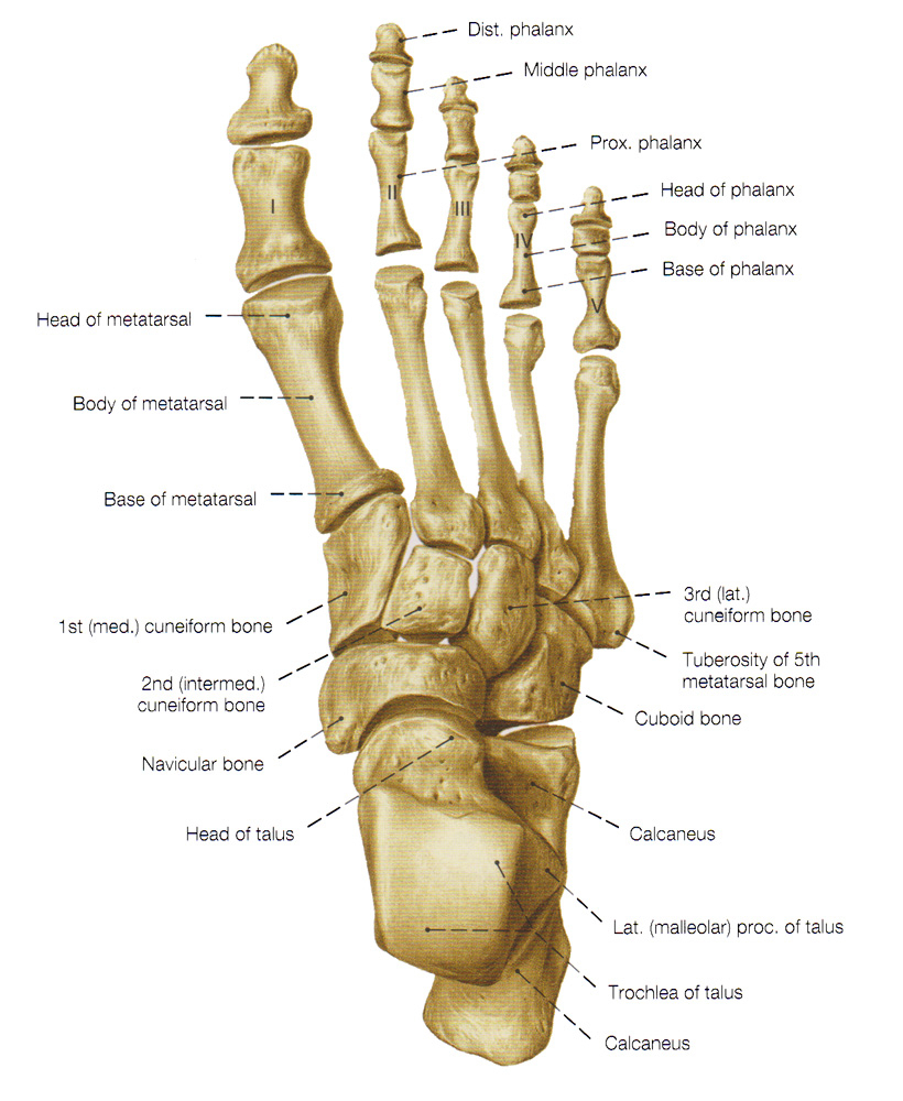 hight resolution of foot diagram labeled