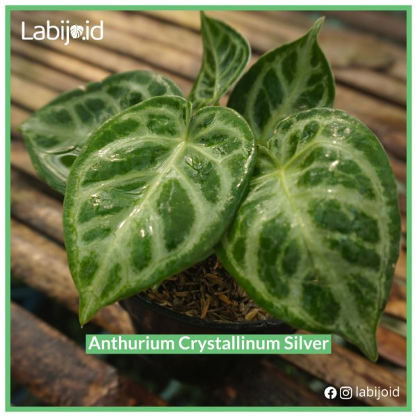 Beautiful Anthurium Crystallinum Silver for bargain