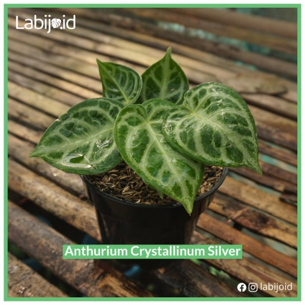 Anthurium crystallinum Silver for bargain