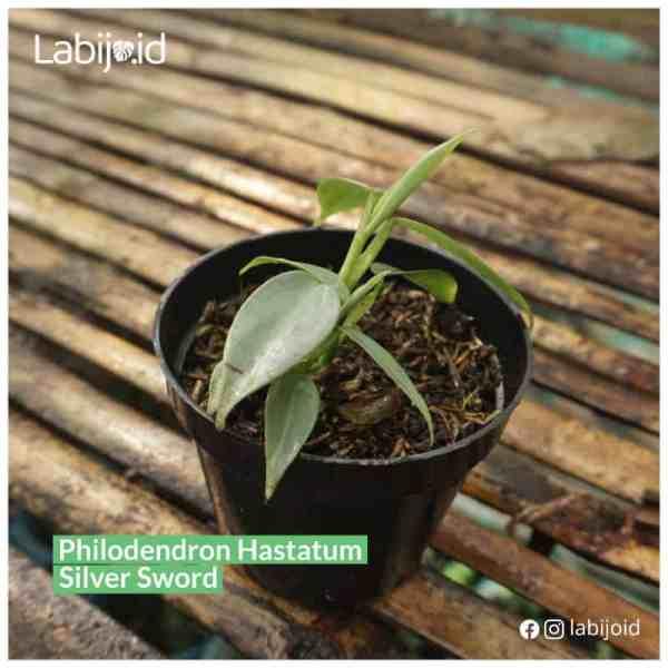 Philodendron Hastatum Silver Sword sale
