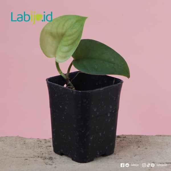 scindapsus jade satin for sale