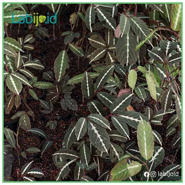 wholesale leea amabilis for sale