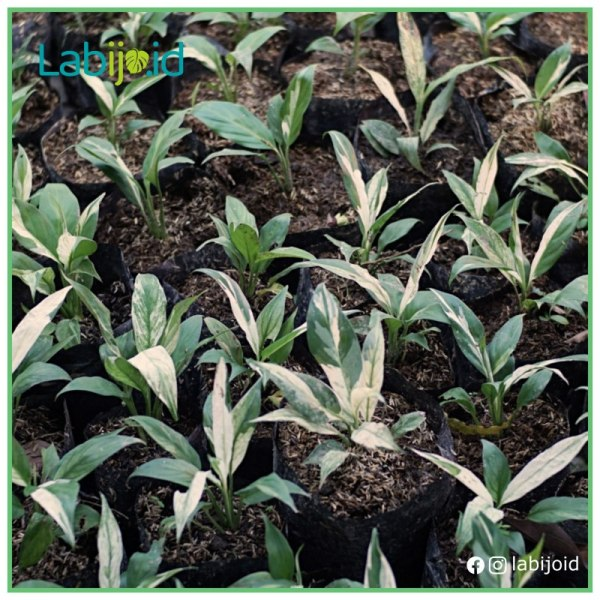 Wholesale Spathiphyllum Peace Variegated for sale