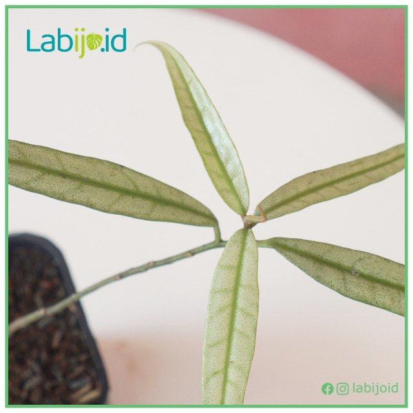 Labisia Narrow Leaves for sale