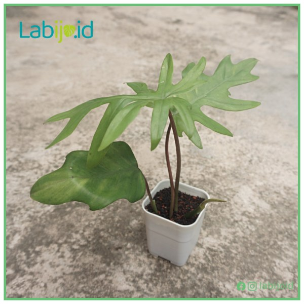 Philodendron Mayoi for sale