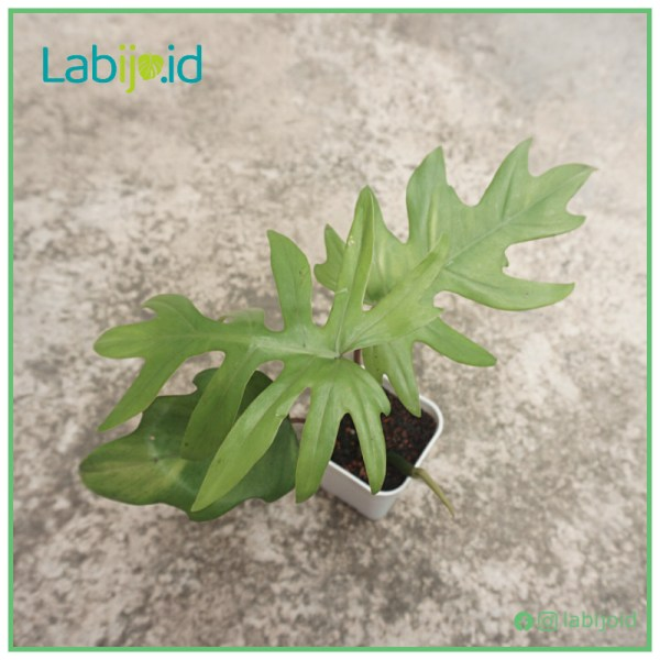 Philodendron Mayoi 3