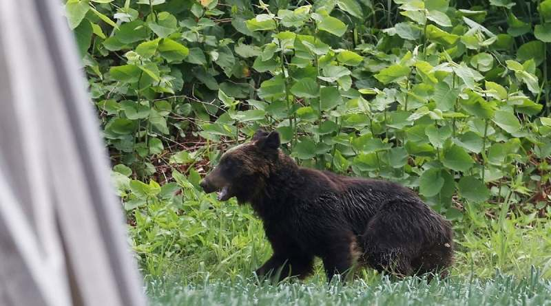 Cazadores matan a oso que atacó a cuatro personas en una ciudad de Japón