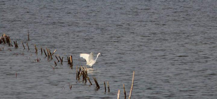 Great White Heron Keta Lagoon