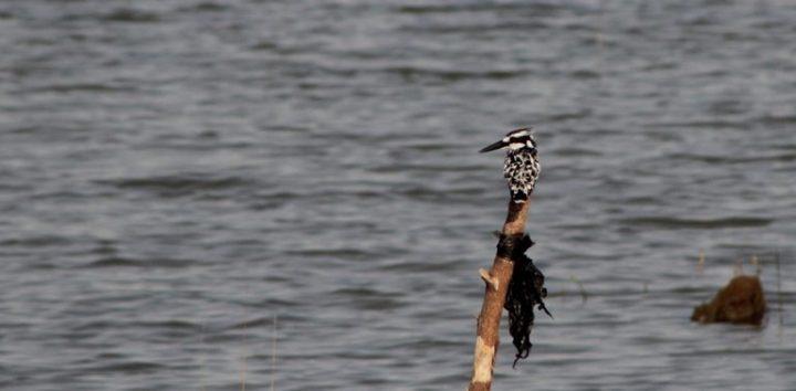 Pied Kingfisher Keta Lagoon
