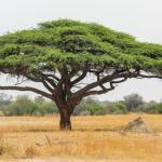 L'archetipo dell'Acacia, dalla savana all'Egitto