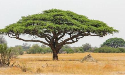 L'archetipo dell'Acacia, dalla savana all'Egitto
