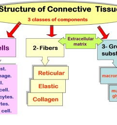 structure of connective tissue [ 1200 x 856 Pixel ]