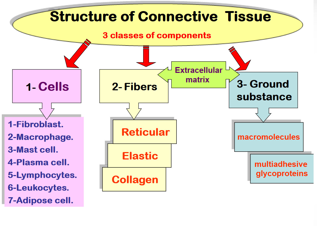 hight resolution of structure of connective tissue