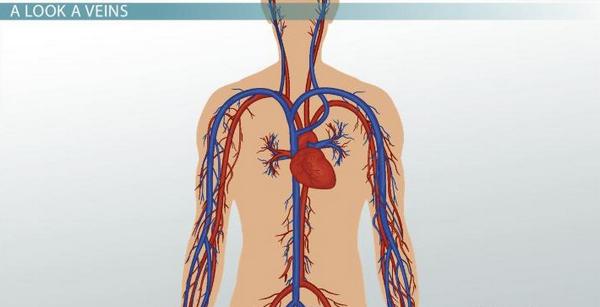 Circulation 4 Major Systemic Arteries 19 Table