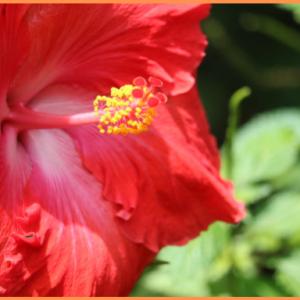 Cadeau Hibiscus