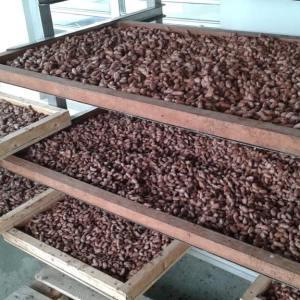 cacao sechage