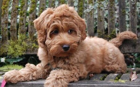Anxiety in a labradoodle and how to help training labradoodle training tips