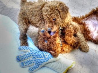 My Labradoodle is out of control training biting problem