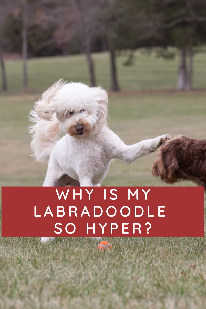 WHY IS MY LABRADOODLE SO HYPER