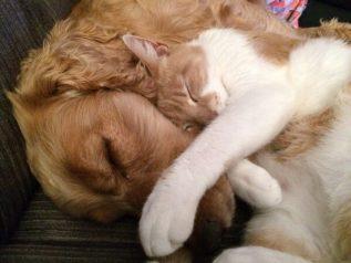 labradoodle dog cat