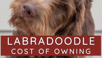cost of owning a labradoodle
