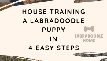house training a labradoodle puppy