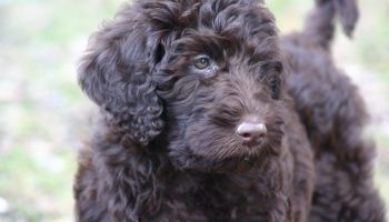 f1 labradoodle best age to breed a labradoodle black labradoodle