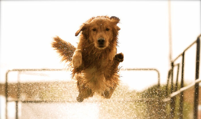 training a Labradoodle not to jump are labradoodles good at agility