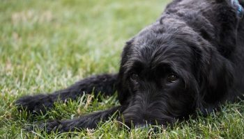 Labradoodle biting problem training are labradoodles calm How Can I Tell if my Dog has Arthritis