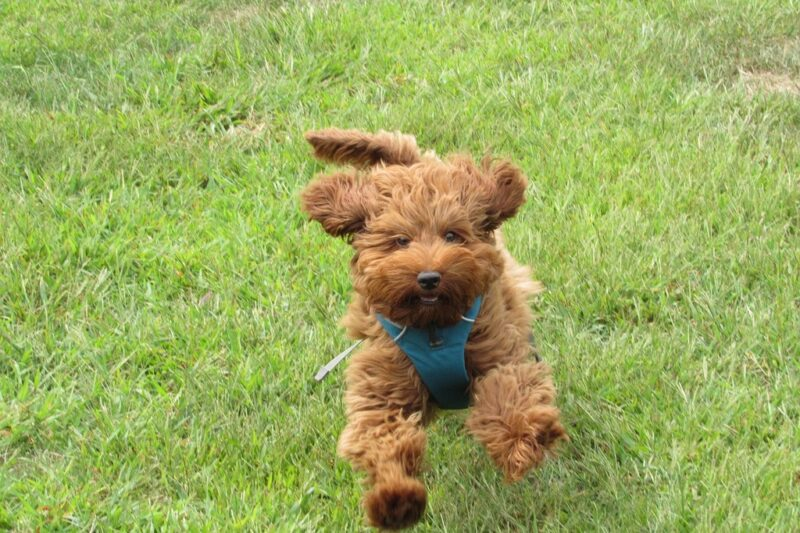 can a labradoodle run long distances how to get labradoodles to calm down How High Can Labradoodles Jump best gps tracker for labradoodles labradoodle shed