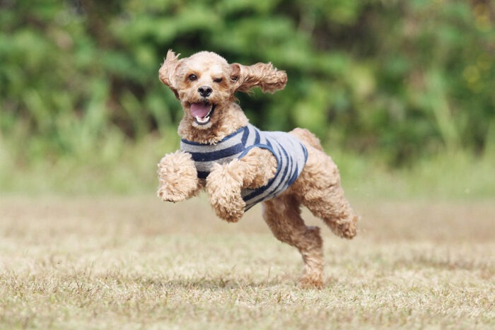 training a Labradoodle not to jump how to get labradoodles to calm down best inescapable dog harness