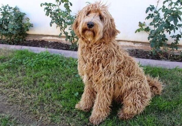 How to train a labradoodle to sit training how often should a labradoodle be groomed Labradoodle Elbow Dysplasia What Is The Largest Doodle Breed