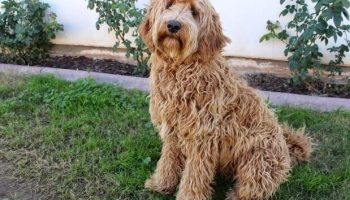 How to train a labradoodle to sit training how often should a labradoodle be groomed