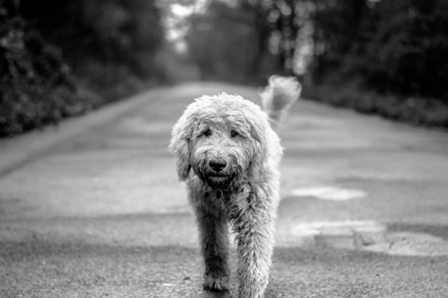 can you take benadryl with zyrtec How to Stop Goldendoodle Scratching