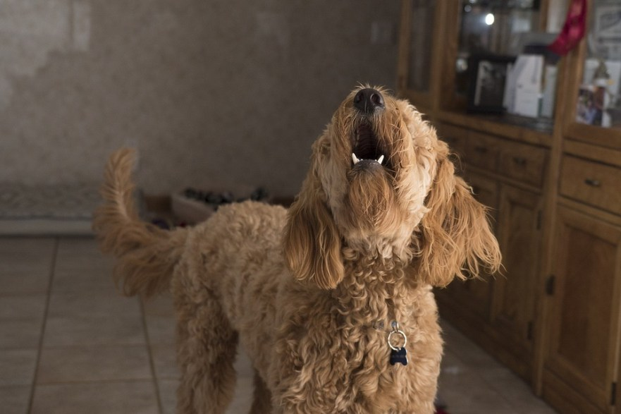 Do Labradoodles Bark Excessively How Do I Get My Labradoodle To Stop Barking