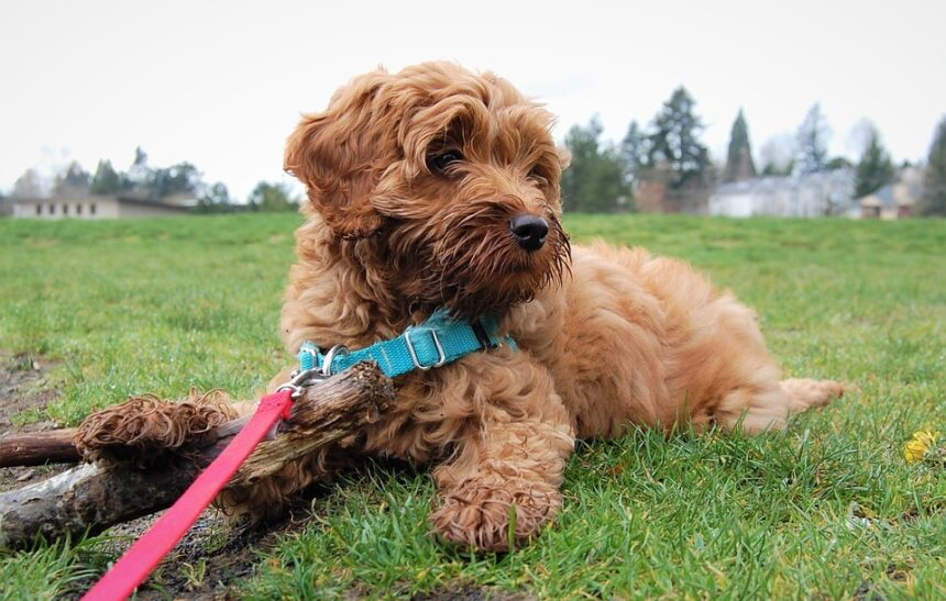 are labradoodles hypoallergenic