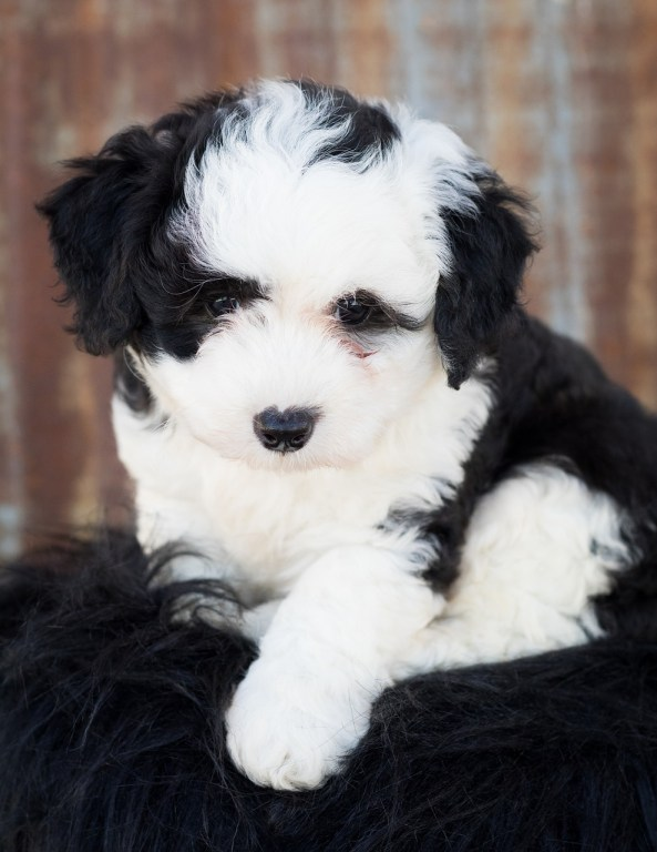 are sheepadoodles hypoallergenic can dogs eat honey graham crackers best food for sheepadoodle puppy Labradoodle Vs Sheepadoodle Temperament