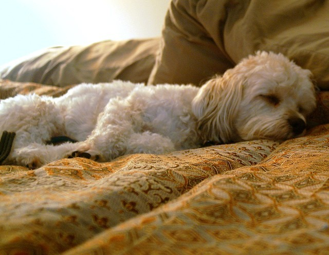 How Much Sleep Does a Labradoodle Need how to get your labradoodle to sleep