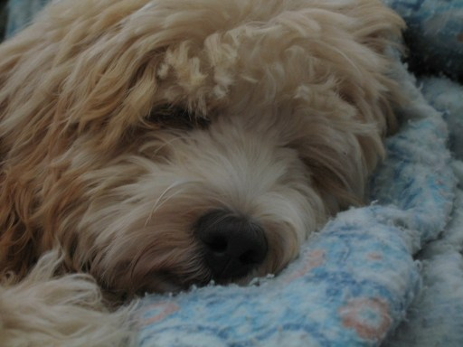 How Much Sleep Does a Labradoodle Need sleeping problems found in labradoodles