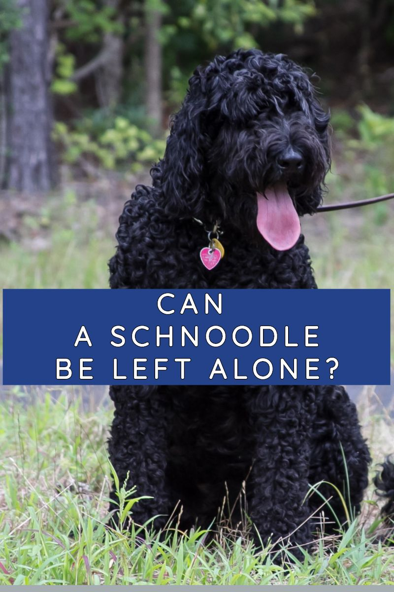 can a schnoodle be left alone
