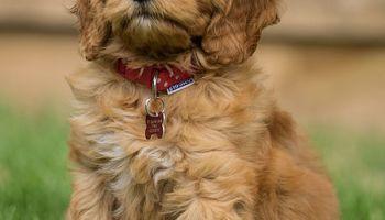 golden labradoodle VS GOLDENDOODLE puppy checklist can goldendoodles hunt English Doodle Vs Goldendoodle Grooming English Doodle Vs Goldendoodle temperament Goldendoodle Breeding Guide do goldendoodles have webbed feet