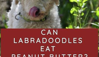 can labradoodles eat peanut butter