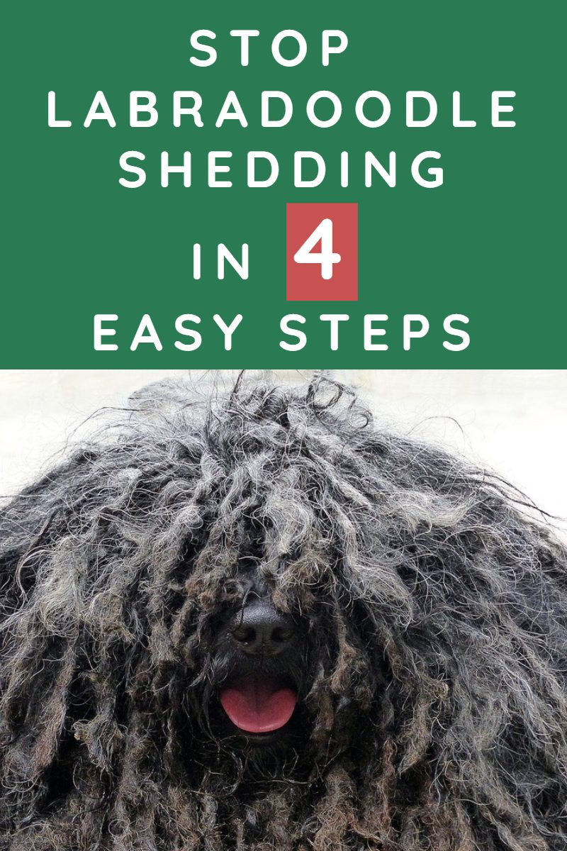 HOW TO KEEP MY LABRADOODLE FROM SHEDDING