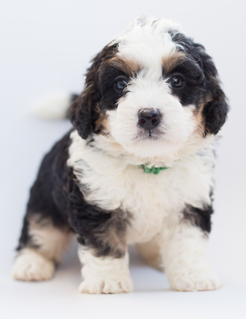 best food for bernedoodle puppy best food for bernedoodle puppies