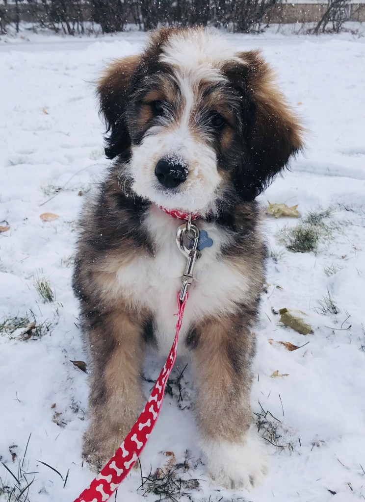 f1b Bernedoodle generations bernedoodle puppy checklist how much exercise does a bernedoodle need