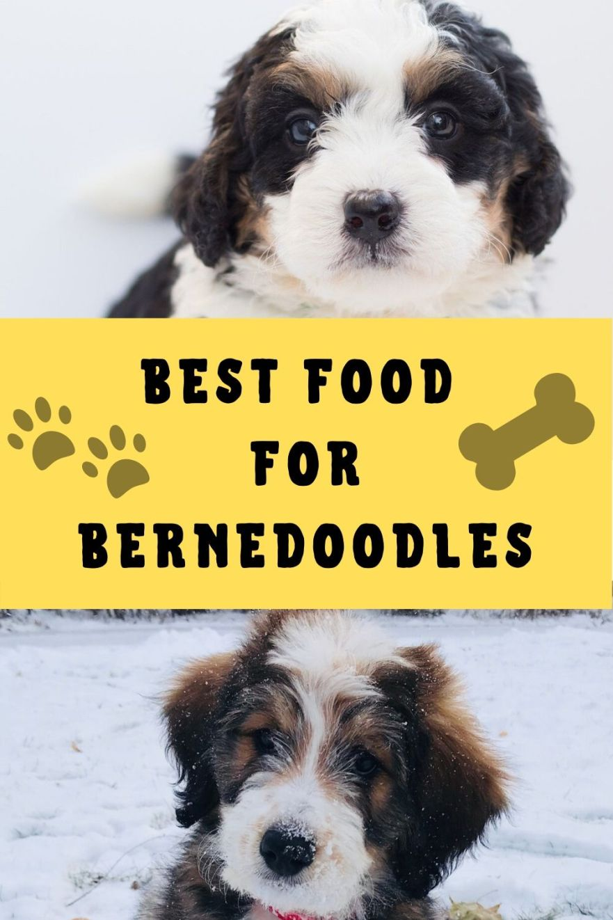 best food for bernedoodles